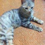 Найдена молодая кошечка на Рабочем городке