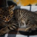 Котёнок тигрового окраса срочно в добрые руки!