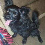 Найдена собака, предположительно шпиц