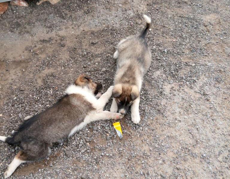 Приютите двух щеночков - девочки