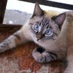 Пропала кошка!!! В районе Красной речки!