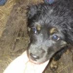 Найден щенок с черным ошейником