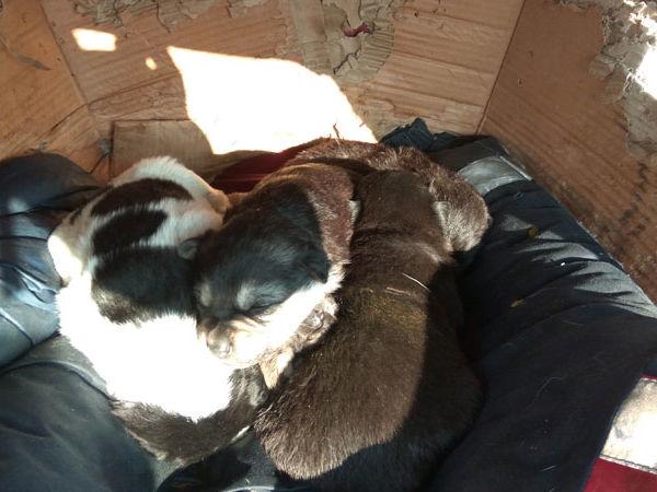 Нужна срочно помощь маленьким щенкам