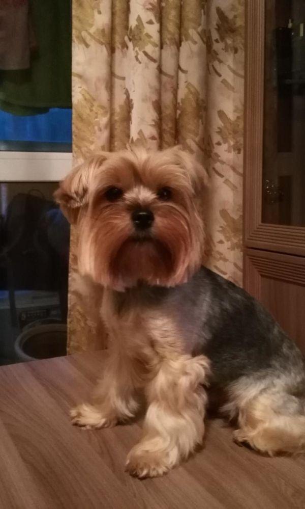 Пропала собака Йорк девочка