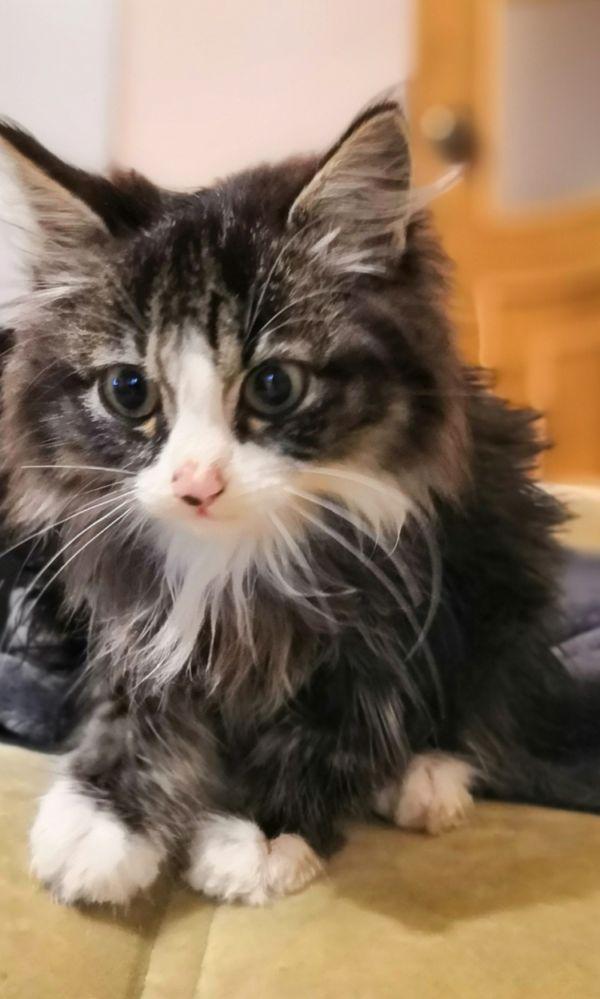 Очень красивый котенок ищет заботливых, любящих хозяев