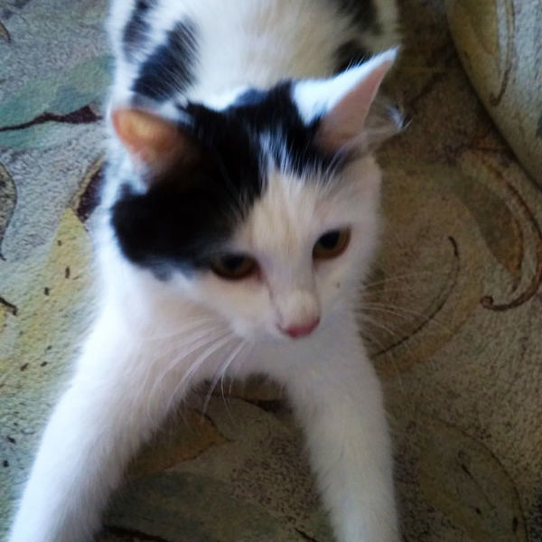 Молодая кошечка(Лиза) ищет дом