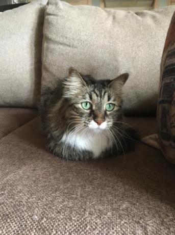 Срочно ищу хозяина для домашней стерилизованной кошки
